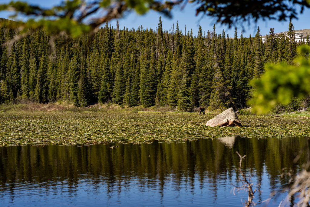 A moose eating on the far side of a lake. Photo by Gabby Jockers Photography. colorado engagement photography, colorado engagement photos, colorado engagement session, brainard lake engagement photos, brainard lake engagement session, colorado photography, brainard lake engagement photos, mountain engagement photos, lake engagement photos, mountain engagement session, hiking engagement, adventure photos, adventure session, couples photos, morning engagement photos