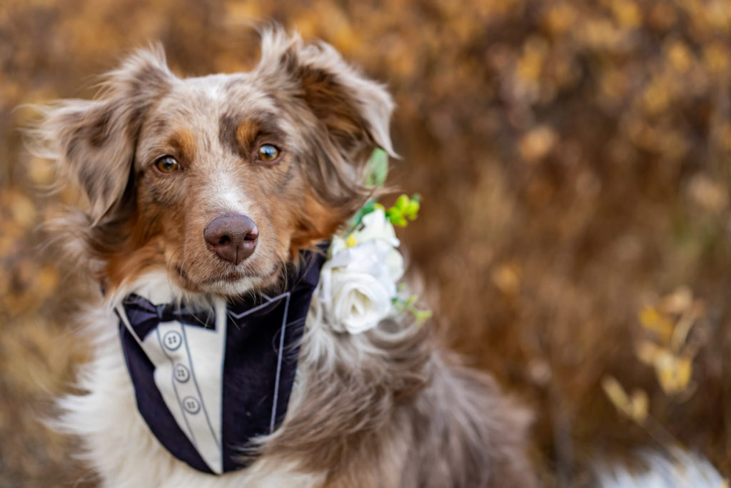 An adorable aussie shepherd wearing a doggie tux and boutonniere as the dog of honor / best dog. Photo by Gabby Jockers Photography. Colorado elopement ideas, elopement inspiration, elopement ideas, Colorado elopement photographer, Colorado elopement photography, hiking elopement, backpacking elopement, Rocky Mountain national park wedding, rocky mountains, backpacking wedding, camping wedding, fall wedding, adventure wedding, adventurous elopement, mountain elopement, elopement with dog, dog of honor, best dog