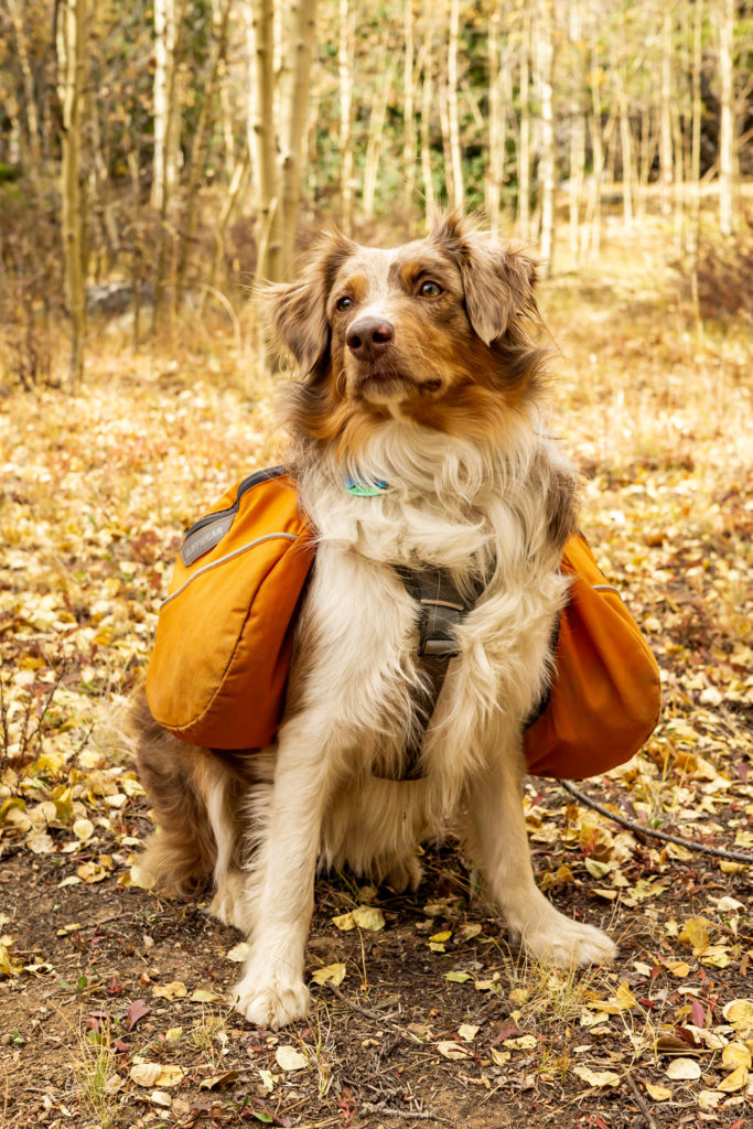 An aussie shepherd with a backpack standing in fall aspens on the hiking trail. Photo by Gabby Jockers Photography. Colorado elopement ideas, elopement inspiration, elopement ideas, Colorado elopement photographer, Colorado elopement photography, hiking elopement, backpacking elopement, Rocky Mountain national park wedding, rocky mountains, backpacking wedding, camping wedding, fall wedding, adventure wedding, adventurous elopement, mountain elopement, elopement with dog, dog of honor, best dog